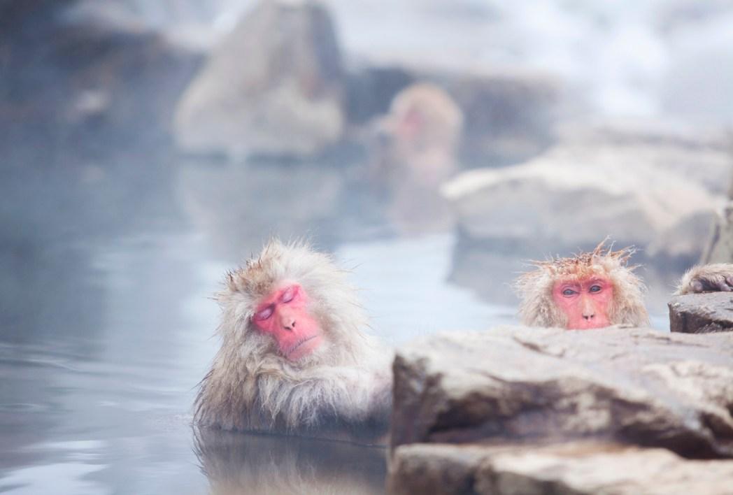 Japanese hot spring for monkeys
