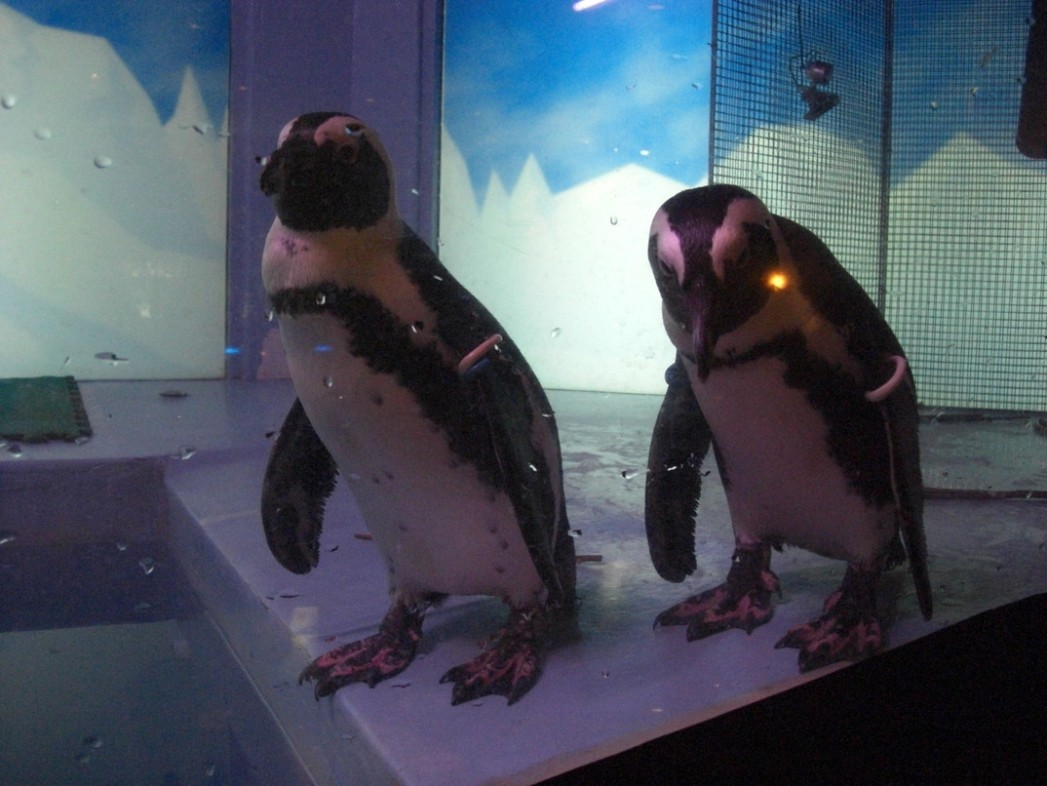 Penguin Bar Fairy的可愛企鵝